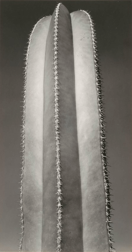 Photo of Brett Weston's Untitled (Cactus), from 1931